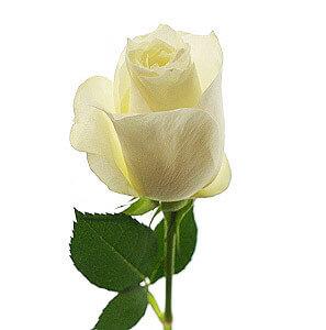Baltos rožės - Gėlių pristatymas į namus Mažeikiuose