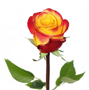 Dvispalvės rožės - Gėlių pristatymas į namus Vilniuje