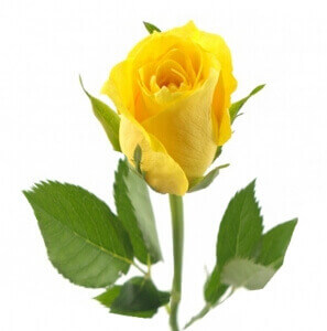 Geltonos rožės - Gėlių pristatymas į namus Mažeikiuose
