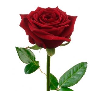 Raudona Rožė 80-90 cm - Gėlių pristatymas į namus Kėdainiuose